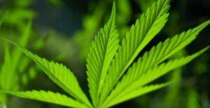 cannabis_sativa_canapa