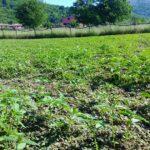 CanapIripina coltivazione5