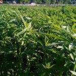 CanapIripina coltivazione
