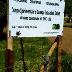 CanapIripina coltivazione4