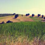 La canapa di Vitelium_2_©Davide Petrollino