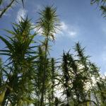 Le piante di canapa di Salute Sativa