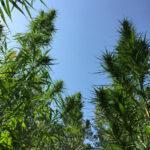 Le piante di canapa di Salute Sativa_2