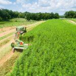 Mantova: un distretto della canapa per agricoltori ed imprenditori