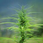 Alaska: tutto pronto per la legalizzazione della canapa industriale