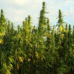 Cannabis light dalla Svizzera: il ministero della Salute vieta l'importazione