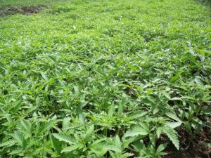 Un sistema per tracciare la provenienza della canapa come garanzia per produttori e consumatori