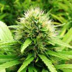 """Confagricoltura e Coldiretti: """"Siamo pronti a coltivare cannabis terapeutica"""""""