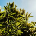 La canapa in USA è finalmente legale: al via la rivoluzione verde